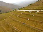 Terraced-vineyard-at-Quinta-do-Noval.JPG