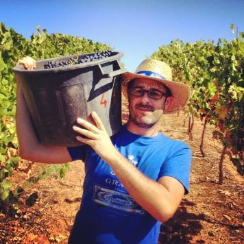 Harvest at Quinta do Gradil