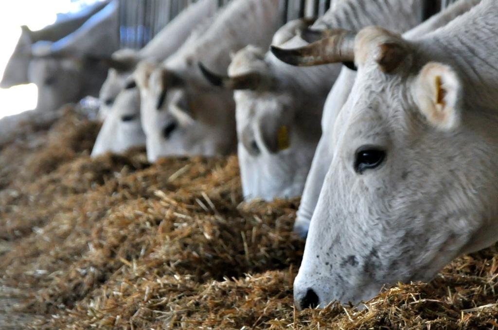Cows at Castello delle Regine